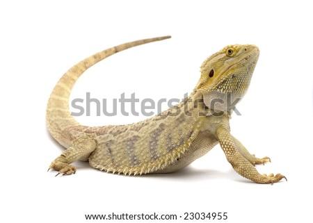 Bearded Dragon Isolated on White background - stock photo