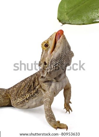 bearded dragon licking water droplet from a leaf