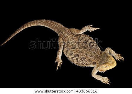 Bearded Dragon Llizard Lying, agama, Isolated on Black Background, Top view