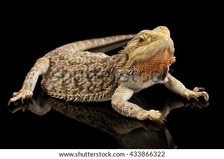 Bearded Dragon Llizard Lying on Mirror Isolated on Black Background - stock photo