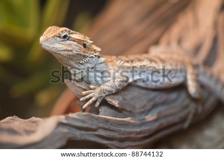 Bearded dragon on the wood.