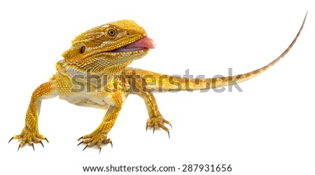 Bearded dragon - Pogona vitticeps on a white background - stock photo
