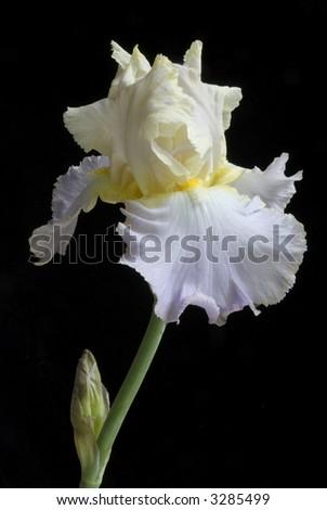 bearded iris - stock photo