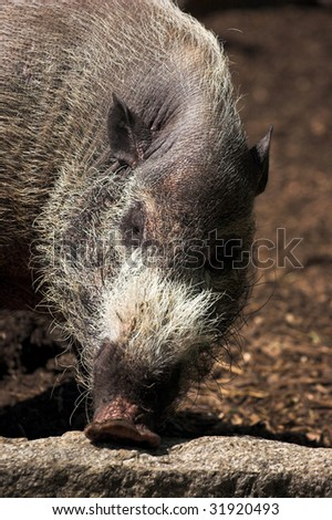 Bearded pig at London Zoo