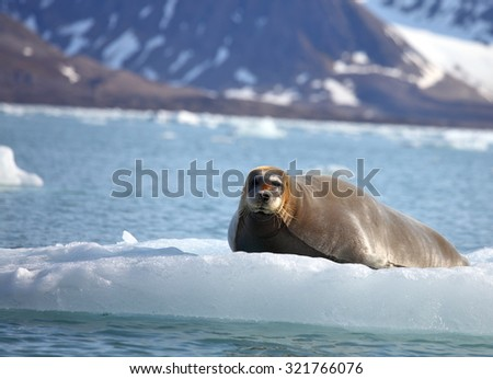 Bearded seal on fast ice  - stock photo