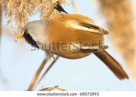 Bearded Tit, male - Reedling (Panurus biarmicus) - stock photo
