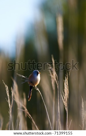 Bearded Tit Panurus biarmicus perched on reeds - stock photo