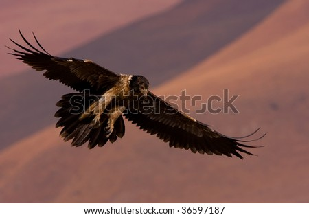 bearded vulture - stock photo