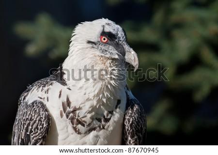 Bearded Vulture - (Gypaetus barbatus) - stock photo