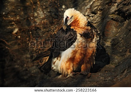 Bearded Vulture, Gypaetus barbatus, in stone habitat, Spain - stock photo