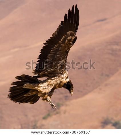 bearded vulture landing - stock photo