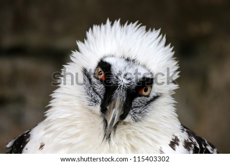 bearded vulture portrait
