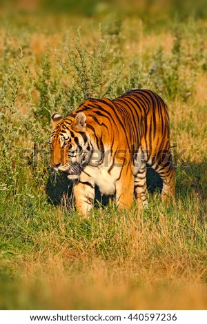 Beast of prey Amur or Siberian Tiger, Panthera tigris altaica, walking in the grass. Tiger in the nature Habitat. Big dangerous animal from Russia. Hunting tiger in the grass, evening wildlife scene. - stock photo