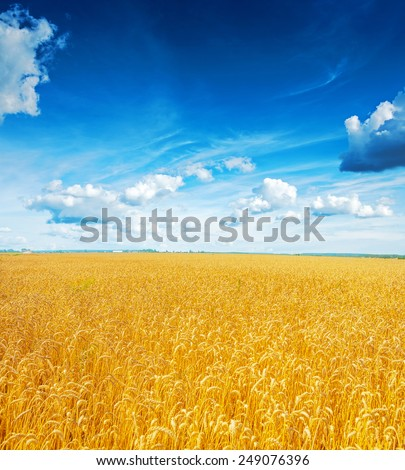 beatiful view on field of wheat and blue cloudy sky  - stock photo