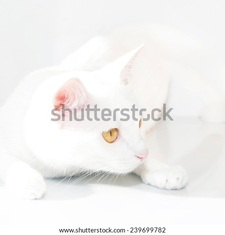 beatiful white cat with yellow eyes on the white background
