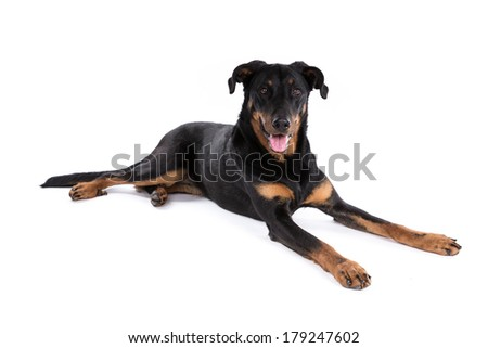 Beauceron dog on a white background