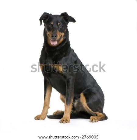 Beauceron sitting in front of a white background