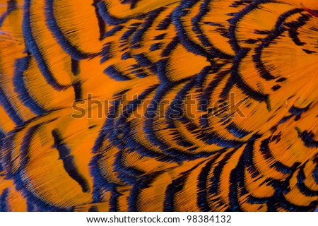 Beautiful abstract background consisting of orange dyed lady amherst pheasant feathers