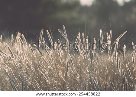 beautiful abstract grass texture on sunset with reflections and rays of sun - vintage retro grainy film effect - stock photo