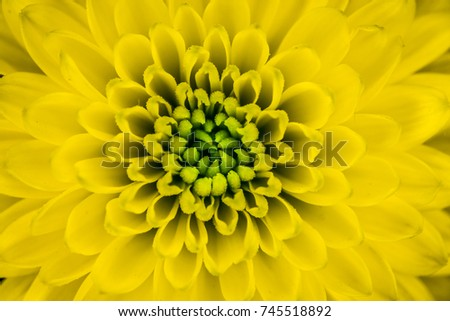 beautiful abstract pattern of a yellow flower, Chrysanthemum Indicum flower is a specific flower produced in France during autumn taken by macro photography