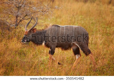 Beautiful adult male of Nyala Tragelaphus angasii with big horns staring directly at the camera in dry savanna on pasture. Colorful early morning backlight. - stock photo