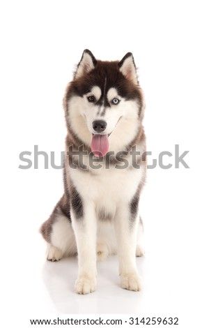 Beautiful adult siberian husky sitting and looking on white background isolated - stock photo