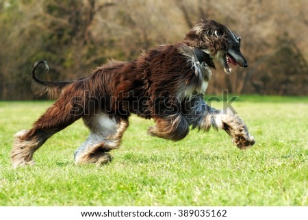 beautiful Afghan hound dog running fast gallop across the grass, hair flying in the wind - stock photo