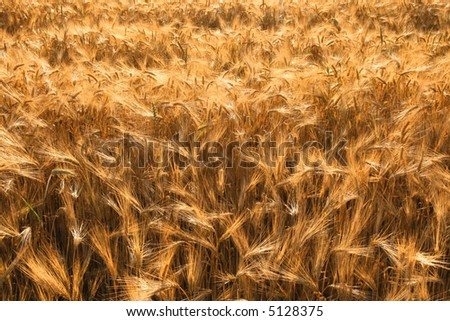 Beautiful agricultural background. Typical rural view - ripe barley fields.