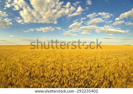 Beautiful agricultural landscape showing ripe wheat on sunny summer day. - stock photo