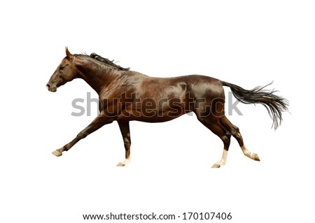 beautiful akhal-teke horse running gallop isolated on white - stock photo