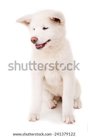 Beautiful Akita Inu dog posing in studio - stock photo