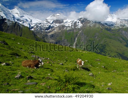 Beautiful alpine landscape with peaks covered by snow and green grass with cows in the foreground. - stock photo