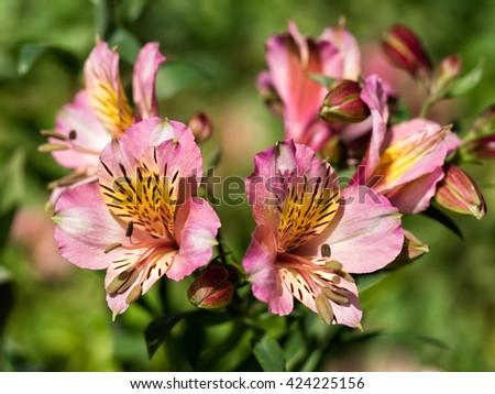 Beautiful Alstoemeria flowers. - stock photo