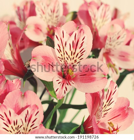 Beautiful Alstroemeria flowers with retro style processing. Stylized instagram colorized vintage fashion card - stock photo