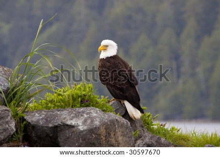 Beautiful American Bald Eagle perched on a rock by the ocean harbor. - stock photo