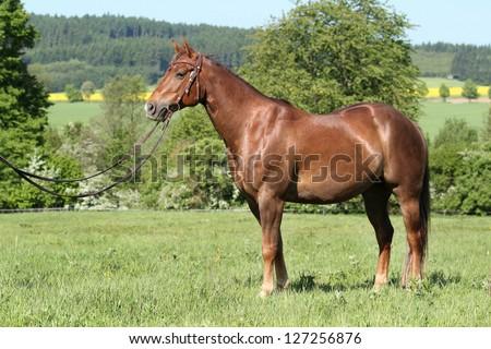 Beautiful American Quarter horse stallion posing - stock photo