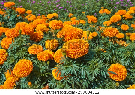 Beautiful and colorful flowers of African Marigold (Tagetes erecta), found in Montreal, Canada - stock photo