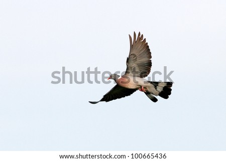 Beautiful and colorful wild european wood pigeon in flight - stock photo