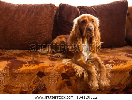 Beautiful and cute dog, English Cocker Spaniel, on a couch at home, looking up - stock photo