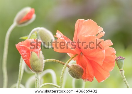 Beautiful and delicate poppies closeup in bloom in soft setting - stock photo
