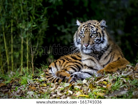 Beautiful and endangered female Sumatran Tiger Cub - stock photo