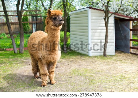 beautiful and furry brown and white alpacas on pet farm - stock photo