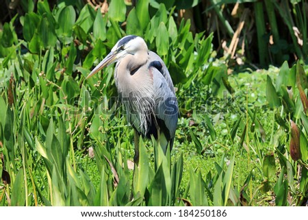 Beautiful and healthy Tricolored Heron - stock photo