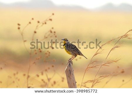 Beautiful and lonely Eastern Meadowlark male perched on a fence post in a pasture field in Central Panama