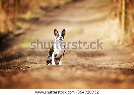 beautiful and sad boston terrier dog or french bulldog puppy sitting in autumn field  - stock photo