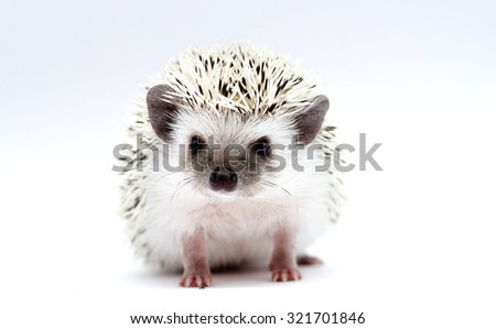 beautiful and sweet rodent african pygmy hedgehog baby color black high snowflake
