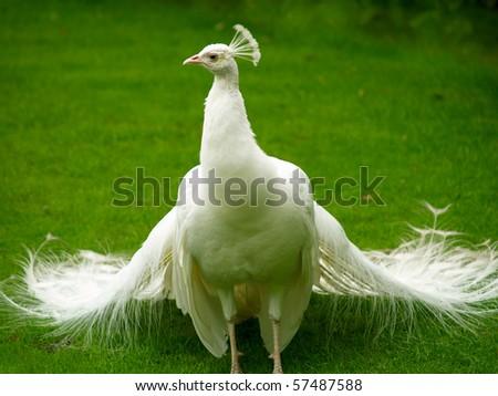 Beautiful and unusual white peacock wandering around - stock photo
