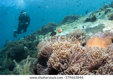Beautiful anemone and coral reef of Tulamben, Bali, Indonesia. - stock photo