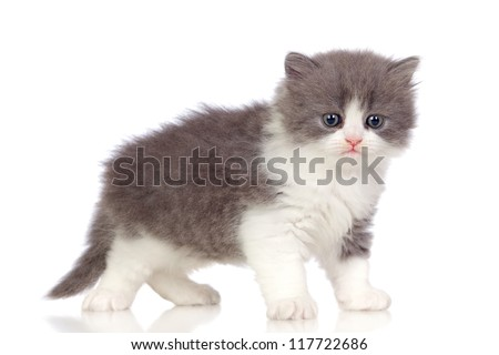Beautiful angora kitten with gray and soft hair isolated on white background