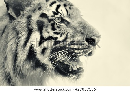 Beautiful angry face of Royal Bengal Tiger, Panthera Tigris,West Bengal, India - tinted image.It is largest cat species and endangered, only found in Sundarban mangrove forest of India and Bangladesh. - stock photo